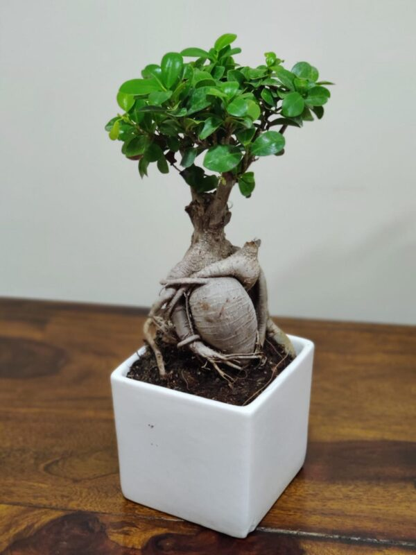 Ginseng Grafted Ficus Plant Bonsai