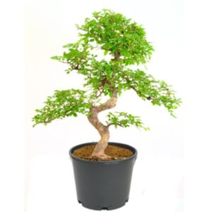 Bonsai Tree for Sale - A Complete Buyer's Guide